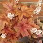 Heuchera Brass lanterns  (Heuchera Brass lanterns)
