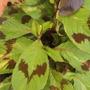 Persicaria virginiana  'Painter's Palette' (Persicaria virginiana  'Painter's Palette')
