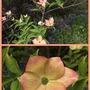 Cornus Rutgan Stellar Pink