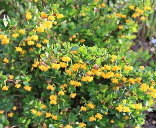 Berberis 'Nana' close up (Berberis buxifolia)