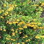Berberis 'Nana' close up (Berberis buxifolia)
