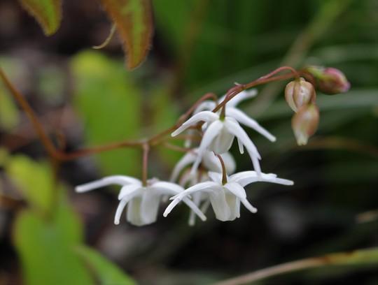 Epimedium 'Sirius' (Epimedium grandiflorum)