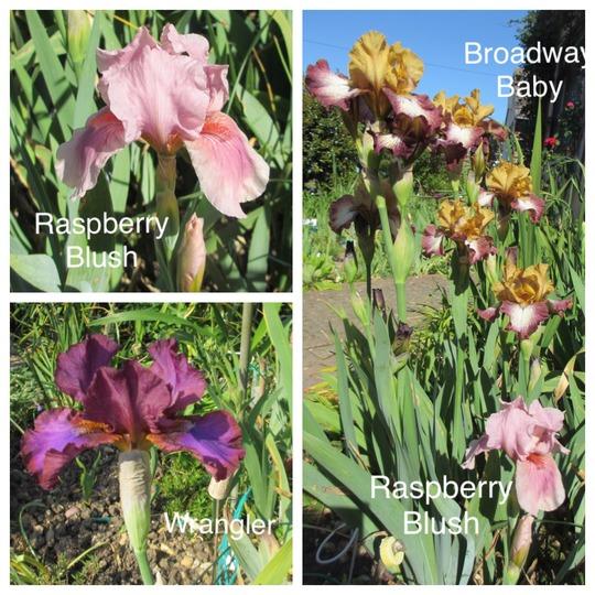 3 Intermediate Irises (Iris pumila x germanica)
