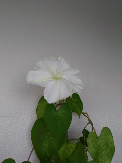Ipomoea Alba (Ipomoea alba (Belle de nuit))