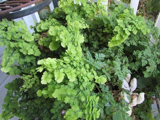 Pacific Maid maidenhair fern. (Adiantum pedatum)