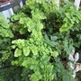 Pacific Maid maidenhair fern. (Adiantum pedatum)