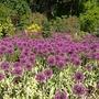 image Alliums