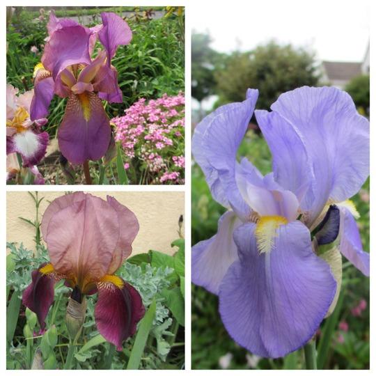 More Historic Irises (Iris germanica (Orris))