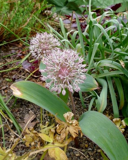 Allium karataviense - 2018 (Allium karataviense)