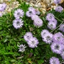 Globularia_blue_bonnets_2018