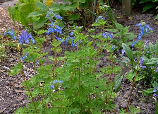Corydalis 'Craigton Blue' - 2018 (Corydalis 'Craigton Blue')