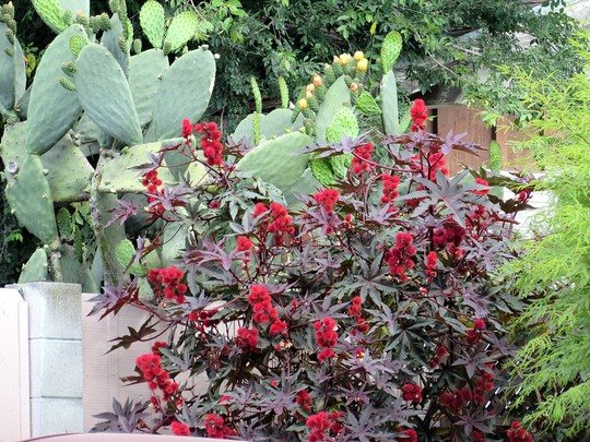 Red Castor Bean (Ricinus communis (Castor oil plant))