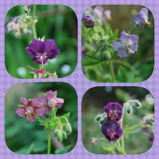 Some of our Geranium Phaeum varieties.... (Geranium phaeum (Mourning widow))
