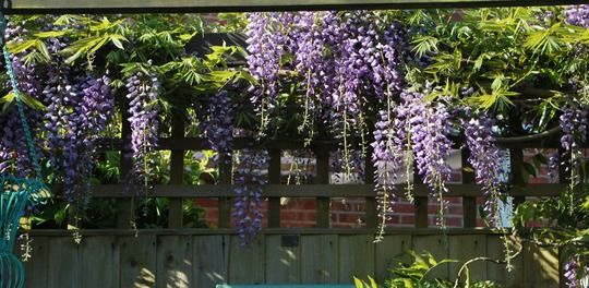 Wisteria on the pergola.. (Wisteria sinensis (Chinese wisteria))