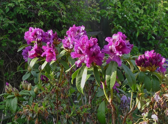Rhododendron 'Purple Splendour' - 2018 (Rhododendron 'Purple Splendour')