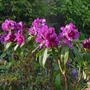 Rhododendron 'Purple Splendour' - 2018 (Rhododendron 'Purple Splendour')