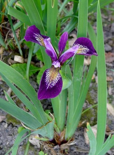 Iris sibirica 'Regality' - 2018 (Iris sibirica)
