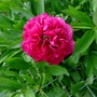 Paeonia_officinalis_rubra_plena_2018