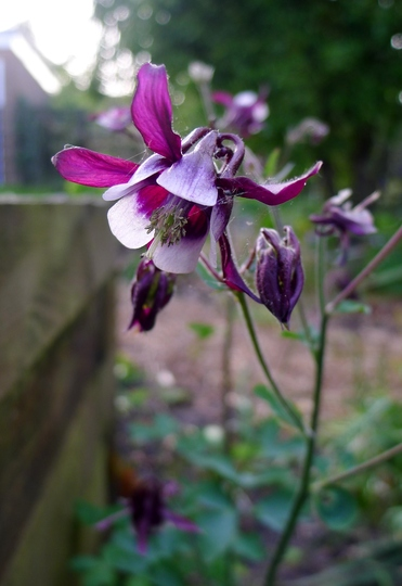 Aquilegia vulgaris 'William Guiness' - 2018 (Aquilegia vulgaris)
