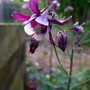 Aquilegia_vulgaris_william_guiness_2018