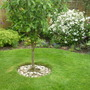 Apple tree (Cobra) lawn and flowerbed back garden.