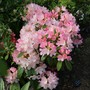 Rhododendron 'Percy Wiseman' (Rhododendron yak.)