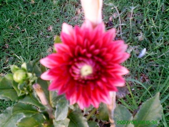 Red Dahlia  (Dahlia)