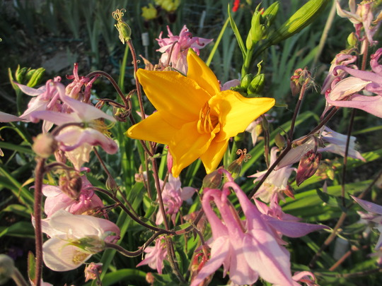 First Hemerocallis flowering. (Hemerocallis lilioasphodelus (Lemon Lily))