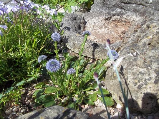 Globularia sp. (Globularia)