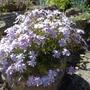 Phlox subulata variety (Phlox subulata (Moss Phlox))