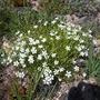 Linum suffruticosum salsoides (Linum suffruticosum salsoides)