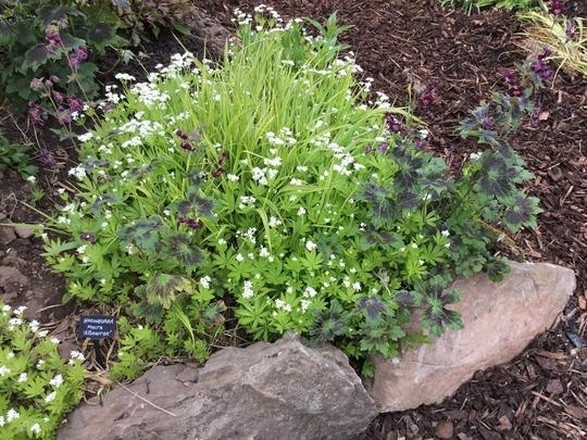 The Sweet Woodruff has really gone to town this year. (Galium odoratum (Asperula Olorosa))
