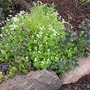 The Sweet Woodruff has really gone to town this year. (Galium odoratum (Asperula Olorosa))