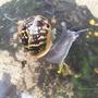 swimming snail