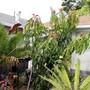 More growth. (Mangifera indica (Mango))