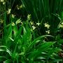 Tiny late Daffodils