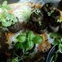 Basil, Snapdragons, Zinnias Seedlings