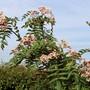 Sorbus cashmiriana in bloom (Sorbus cashmiriana (Kashmir Rowan))