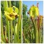 Sarracenia flava cultivars (Sarracenia flava (Yellow Pitcher Plant))