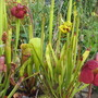 Sarracenia in the Pond (Sarracenia (Pitcher Plant))