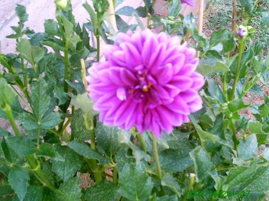 Pink Dahlia (Dahlia)