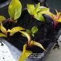 Fuchsia Genii cuttings just taken on balcony 21st May 2018 (Fuchsia 'Genii')