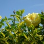 Rose 'Arthur Bell' returning for another year