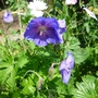 "Hardy Geranium ""Johnson's Blue"" with ""Summer Snow""  behind."