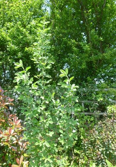 Cytisus battandieri (Cytisus battandieri (Pineapple broom))