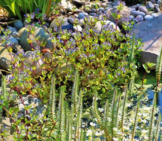 Myosotis palustris (Water Forget-Me-Not) (Myosotis palustris)