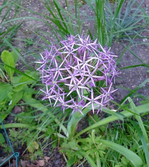 Allium cristophii - 2018 (Allium cristophii)