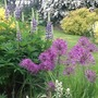 Lupins and Alliums.. (Allium christophii (Persian Onion))