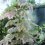 Maple leaf Acer (Acer palmatum (Japanese maple))