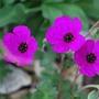 Geranium Splendens.. (Geranium Splendens...)